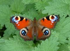 peacock butterfly on nettles
