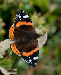 red admiral butterfly on nettles