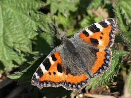 small tortoiseshell butterfly on nettles