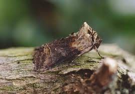 the Spectacle Abrostola triplasia