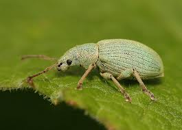 untitledsmall green nettle weevil