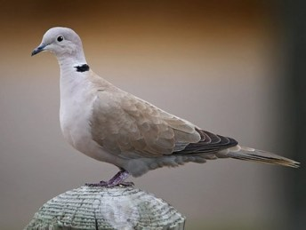 eurasian_collared_dove_1