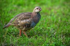red-legged-partridge-630x420